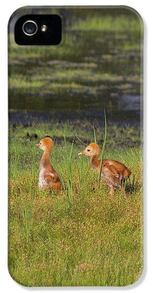 Sandhill Crane Babies IPhone 5 Case by Richard Rizzo