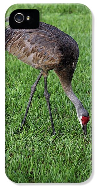 Sandhill Crane II IPhone 5 Case by Richard Rizzo