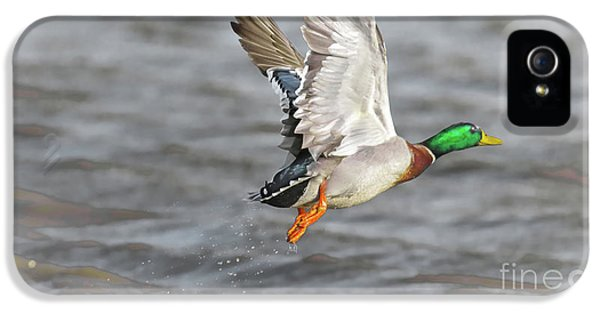 Scared Mallard Drake IPhone 5 Case by Robert Frederick