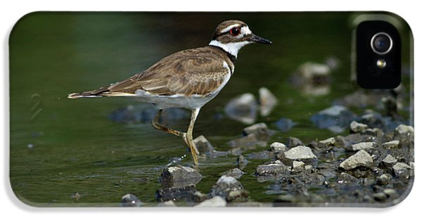 Killdeer  IPhone 5 Case by Douglas Stucky