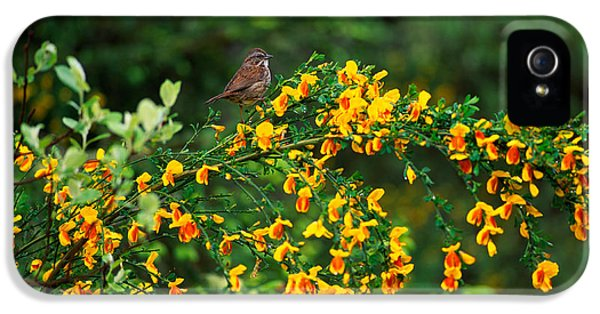 Song Sparrow Bird On Blooming Scotch IPhone 5 Case by Panoramic Images