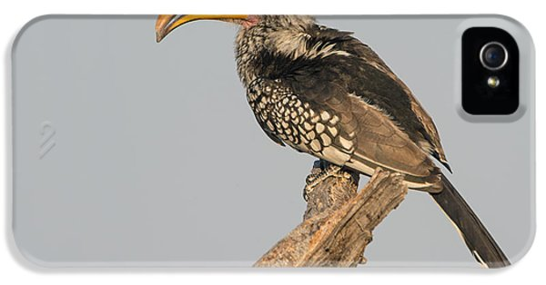 Hornbill iPhone 5 Case - Southern Yellow-billed Hornbill Tockus by Panoramic Images