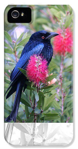 Spangled Drongo IPhone 5 Case by Holly Kempe