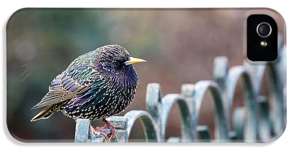 Starlings iPhone 5 Case - Starling Juvenile Male by Jane Rix