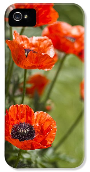 Poppy iPhone 5 Cases - Stunners iPhone 5 Case by Rebecca Cozart