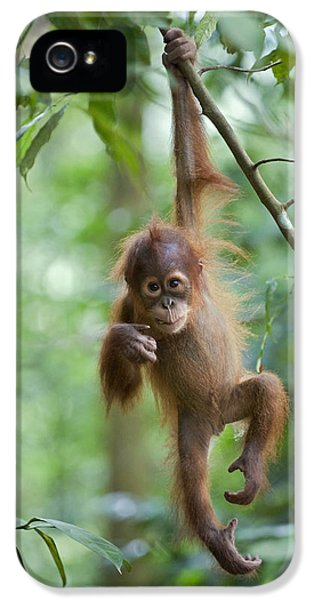 Sumatran Orangutan Pongo Abelii One IPhone 5 / 5s Case by Suzi Eszterhas