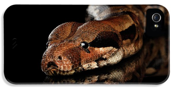 The Boa Constrictors, Isolated On Black Background IPhone 5 Case