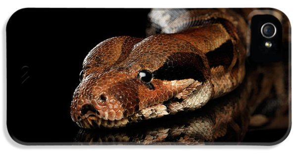 The Boa Constrictors, Isolated On Black Background IPhone 5 Case by Sergey Taran