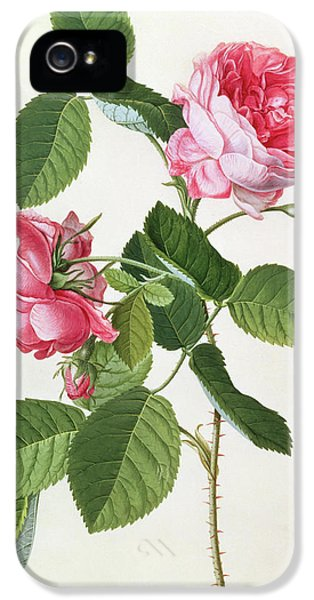 The Common Provence Rose IPhone 5 Case by Georg Dionysius Ehret