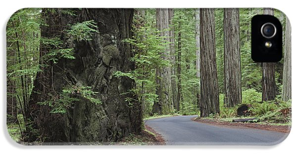 The Giant Redwoods Trees In Humboldt IPhone 5 Case