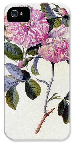 The Striped Monthly Rose IPhone 5 Case by Georg Dionysius Ehret