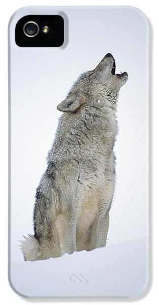 Wolves iPhone 5 Case - Timber Wolf Portrait Howling In Snow by Tim Fitzharris