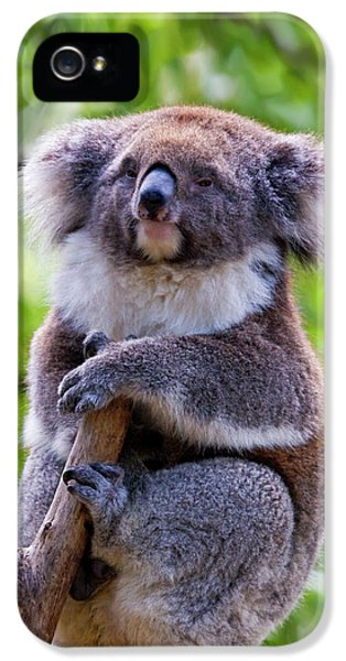 Koala iPhone 5 Case - Treetop Koala by Mike  Dawson