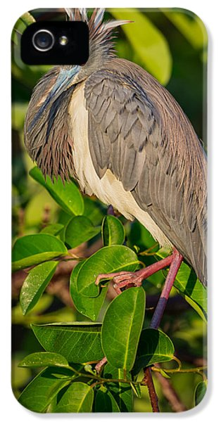 Tricolored At The Venice Rookery IPhone 5 Case by Andres Leon