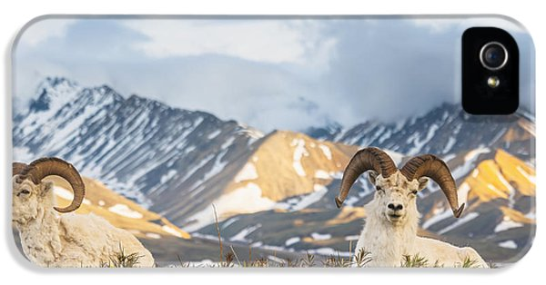Two Adult Dall Sheep Rams Resting IPhone 5 / 5s Case by Michael Jones