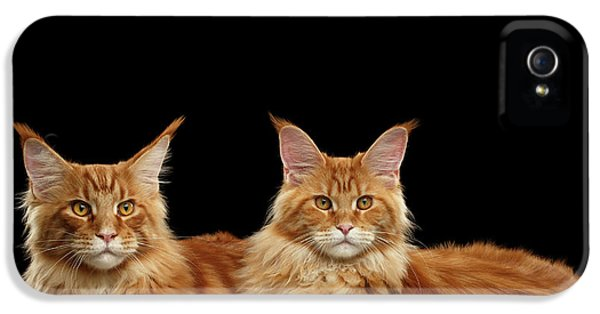 Cat iPhone 5 Case - Two Ginger Maine Coon Cat On Black by Sergey Taran