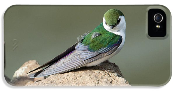 Violet-green Swallow IPhone 5 Case by Mike Dawson