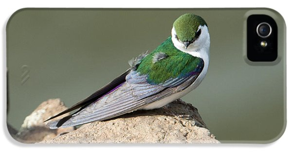 Violet-green Swallow IPhone 5 / 5s Case by Mike Dawson