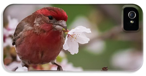 Welcome Spring House Finch With Flower IPhone 5 Case by Terry DeLuco