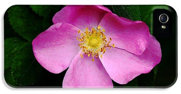 Wild Pink Rose IPhone 5 Case