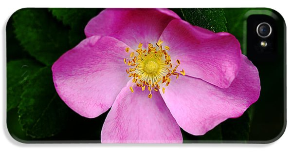 Wild Pink Rose IPhone 5 Case by Debbie Oppermann