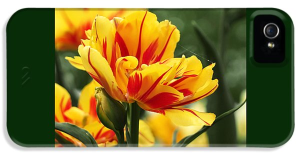 Yellow And Red Triumph Tulips IPhone 5 Case by Rona Black