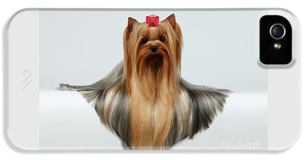 Yorkshire Terrier Dog With Long Groomed Hair Lying On White  IPhone 5 Case by Sergey Taran