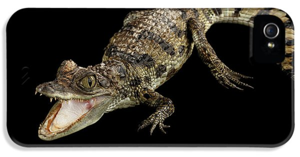 Young Cayman Crocodile, Reptile With Opened Mouth And Waved Tail Isolated On Black Background In Top IPhone 5 Case by Sergey Taran