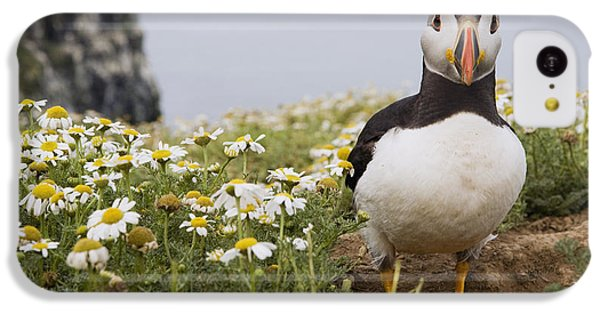Atlantic Puffin In Breeding Plumage IPhone 5c Case by Sebastian Kennerknecht