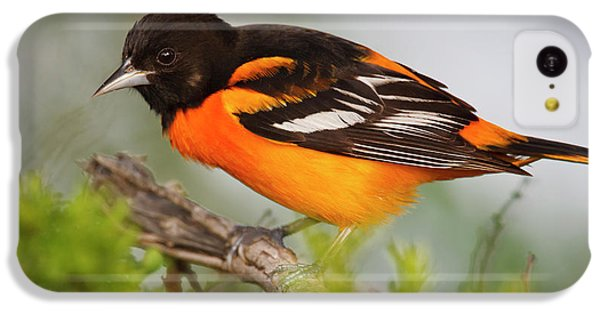 Oriole iPhone 5c Case - Baltimore Oriole Foraging by Larry Ditto