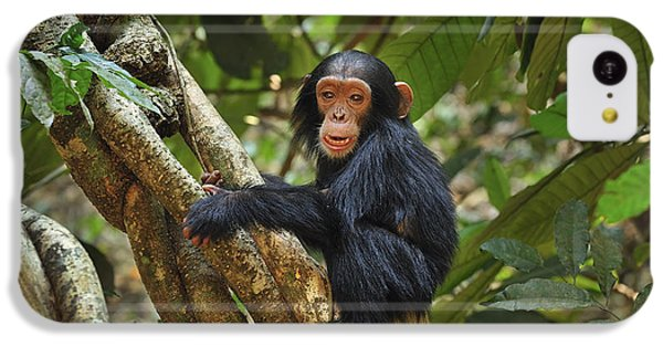 Chimpanzee Baby On Liana Gombe Stream IPhone 5c Case