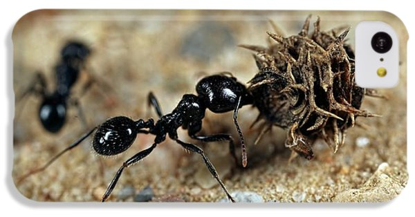 Ant iPhone 5c Case - Harvester Ant by Frank Fox