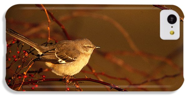Northern Mockingbird Mimus Polyglottos IPhone 5c Case by Paul J. Fusco