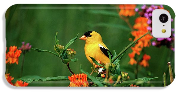 Finch iPhone 5c Case - American Goldfinch (carduelis Tristis by Richard and Susan Day