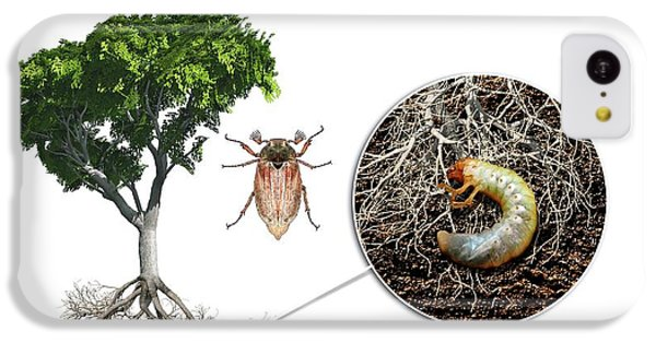 Cockchafer And Beech Tree IPhone 5c Case