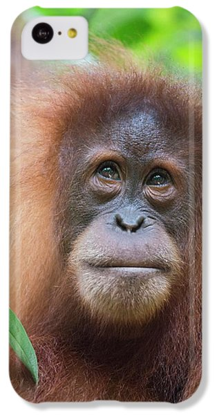 Sumatran Orangutan IPhone 5c Case by Scubazoo