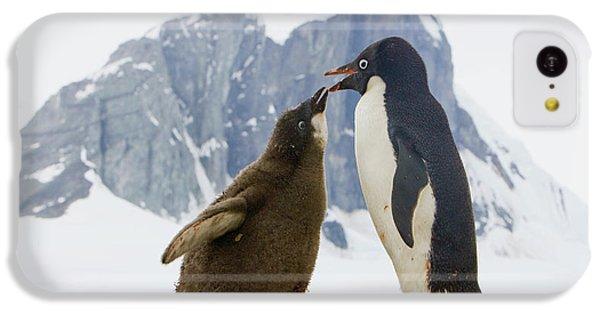 Adelie Penguin Chick Begging For Food IPhone 5c Case by Yva Momatiuk John Eastcott