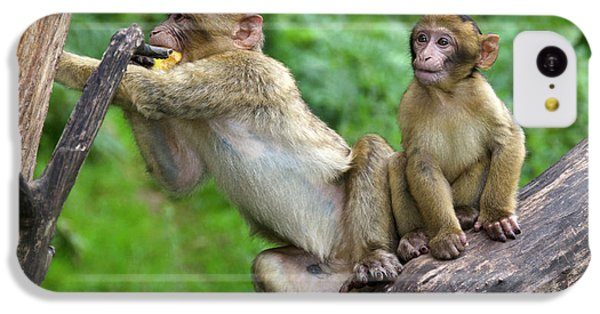 Barbary Macaques IPhone 5c Case by Nigel Downer