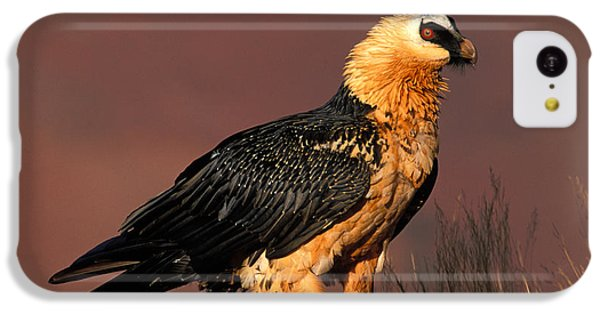 Bearded Vulture Or Lammergeier IPhone 5c Case by Nigel Dennis