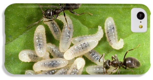 Black Garden Ants Carrying Larvae IPhone 5c Case