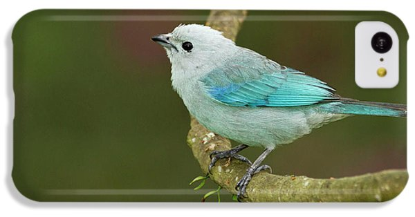 Belize iPhone 5c Case - Blue-grey Tanager (thraupis Episcopus by William Sutton