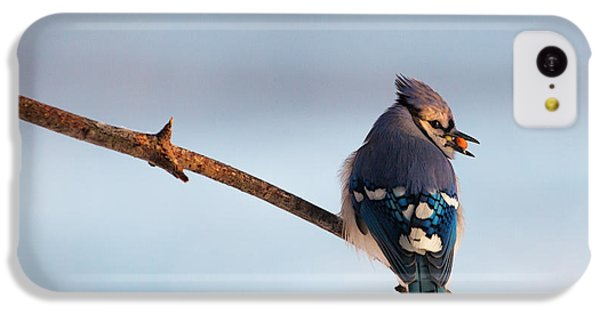Blue Jay With Nuts IPhone 5c Case