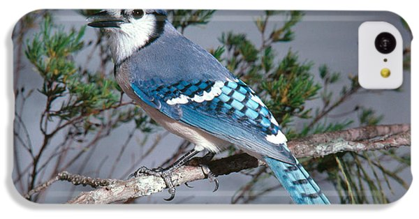 Bluejay Calling IPhone 5c Case