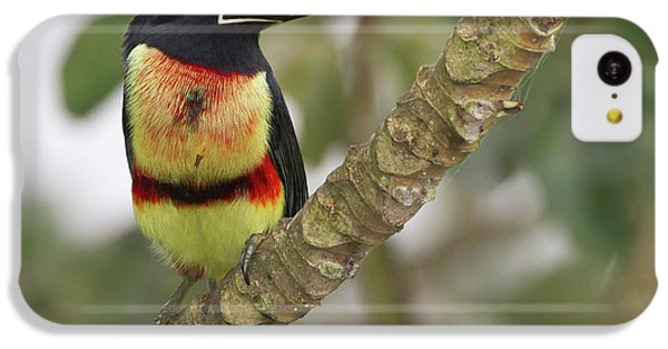 Belize iPhone 5c Case - Collard Aracari (pteroglossus Torquatus by William Sutton