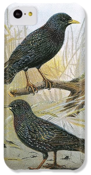 Starlings iPhone 5c Case - Common Starling Top And Intermediate Starling Bottom by English School
