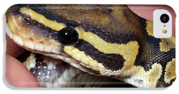 Python iPhone 5c Case - Ghost Royal Python Or Ball Python by Nigel Downer