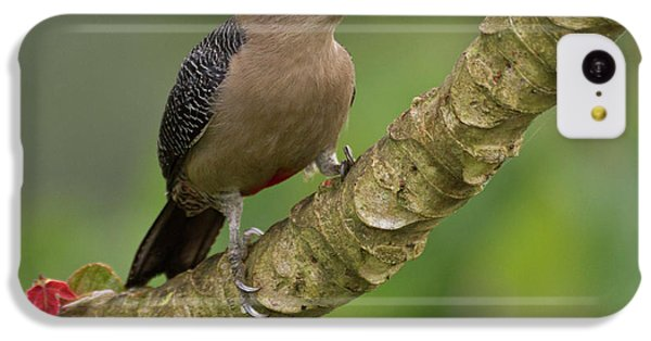 Belize iPhone 5c Case - Golden-fronted Woodpecker (melanerpes by William Sutton