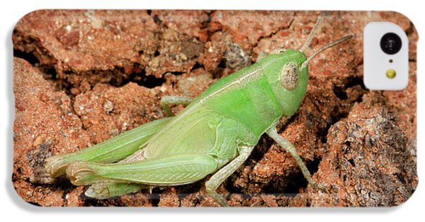 Grasshopper Aiolopus Strepens Nymph IPhone 5c Case by Nigel Downer