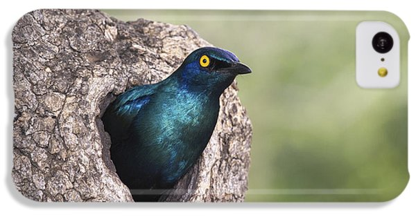 Starlings iPhone 5c Case - Greater Blue-eared Glossy-starling by Andrew Schoeman