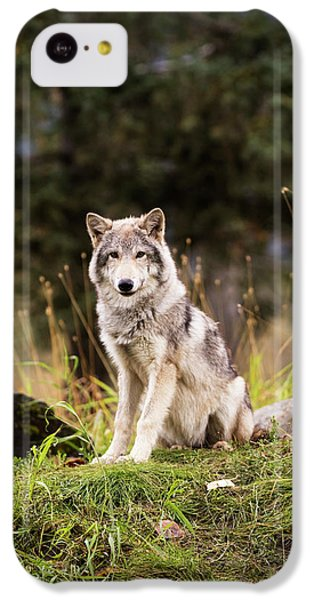 Grey Wolf  Canis Lupus  Pup Roams It S IPhone 5c Case by Doug Lindstrand